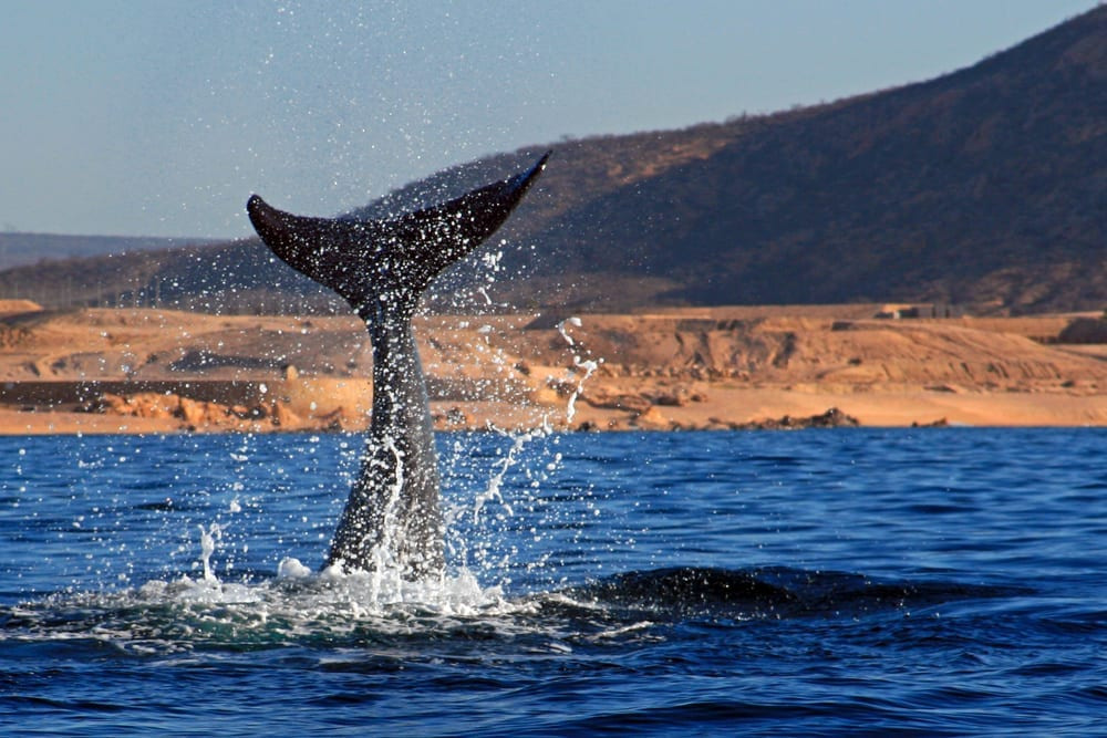 4 Things to Know About Whale Watching in Cabo